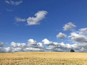 Gult fält och bl himmel