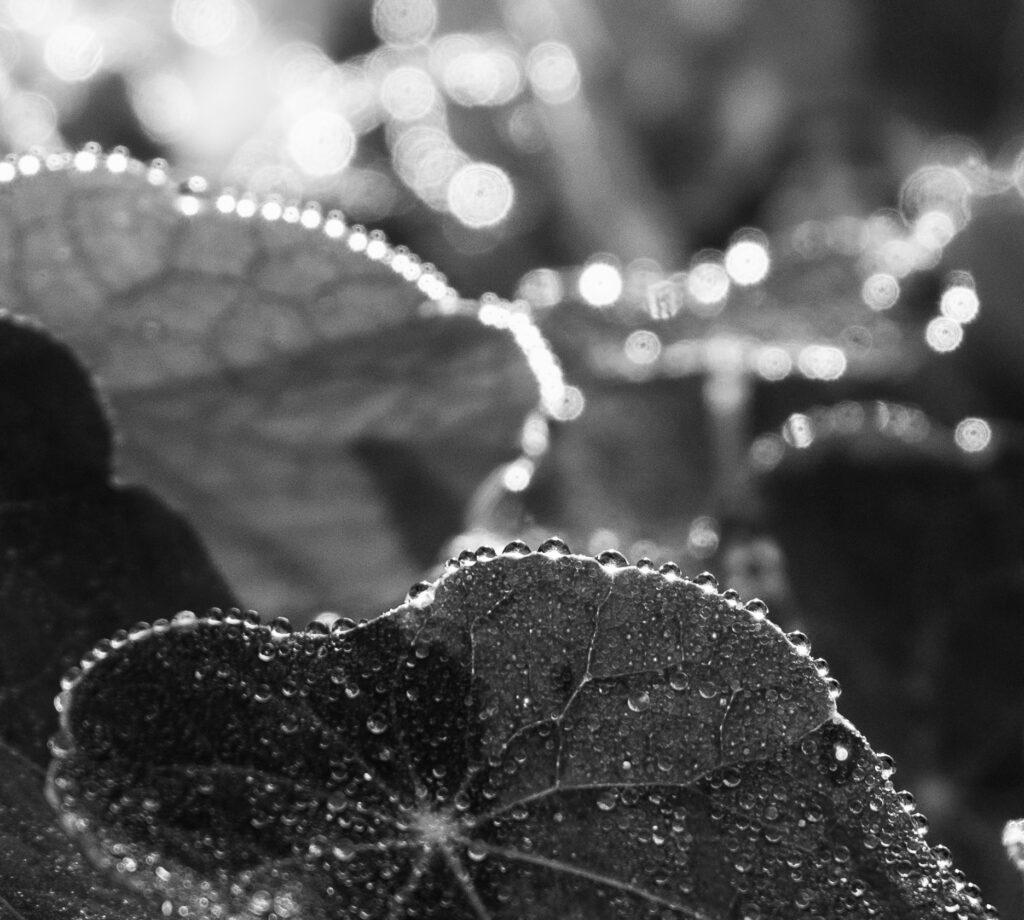 Löv med dagg