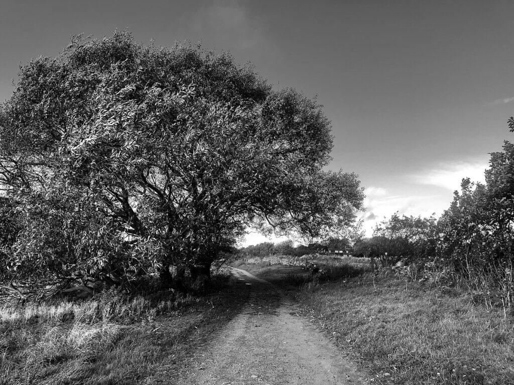 ett träd i svartvitt